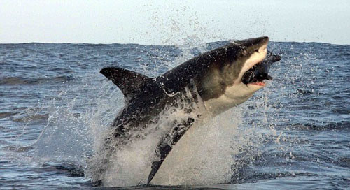 Прыжок акулы в замедленной съемке ...