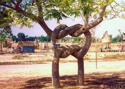 Những hình dáng kỳ quái của cây trong thiên nhiên Cay-5