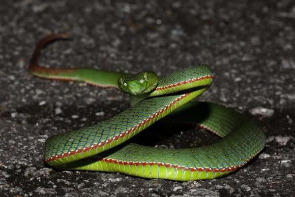 Chú ý: Cảnh báo về mùa rắn lục đuôi đỏ cắn người