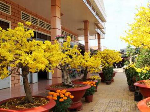 Ngắm gốc mai vàng trên 1 tỷ đồng ở Tây Ninh