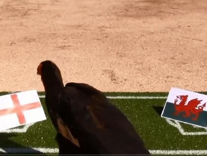 Chim 'tiên tri' Nelson dự đoán trận Anh thắng Wales, Đức hạ Ba Lan