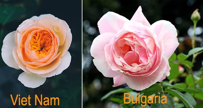 Hoa hồng Bulgari, hồng cổ Việt Nam, hoa nào đẹp hơn?