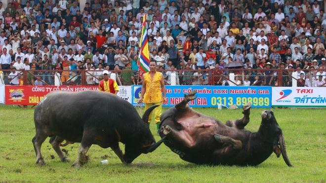 Bộ VH,TT&DL 'quản chặt' các lễ hội chọi trâu